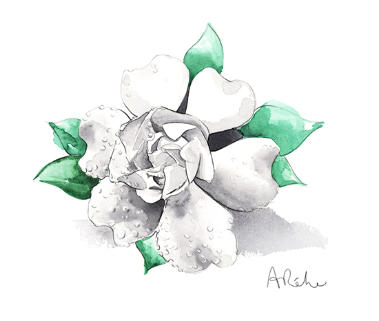 white_flower-watercolour-illustration