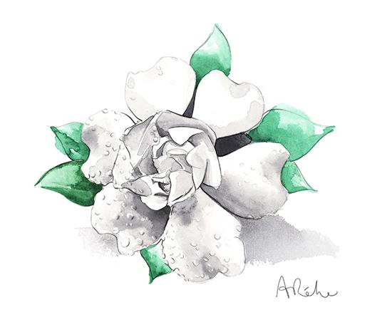 white_flower-watercolour-illustration